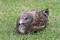 ウミネコ幼羽(種差海岸)