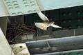[野鳥]高架下のチョウゲンボウ01