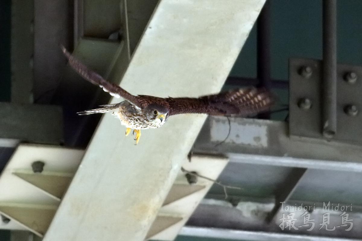高架下のチョウゲンボウ02
