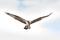 ミサゴ停空飛翔