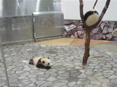 パンダの赤ちゃん、双子の「愛浜」「明浜」