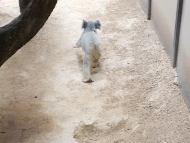 地面を歩くコアラ