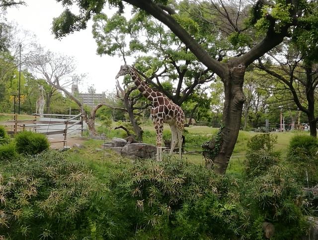 天王寺動物園のアミメキリン