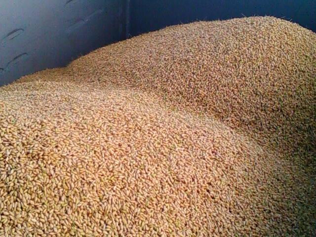 コンテナ内の籾