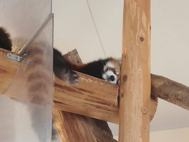 レッサーパンダが目を覚ましたとこ