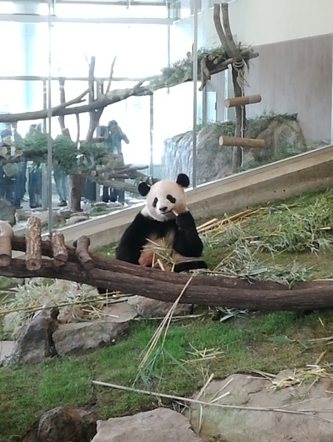 PANDA LOVE ブースで笹を食べる桃浜