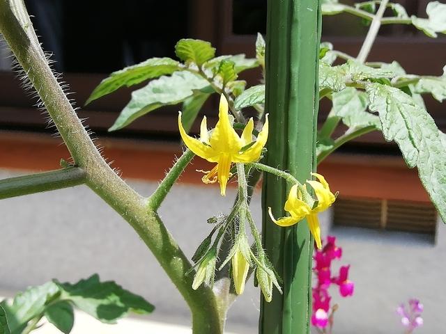 プチトマトの花 2021