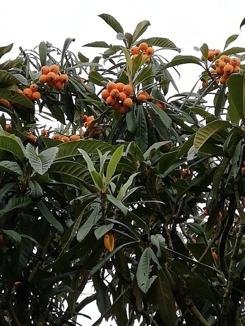 ビワの木 2021