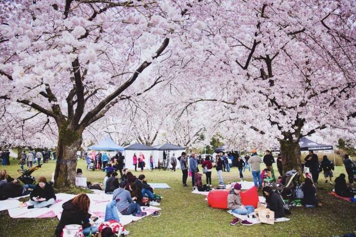 バンクーバー桜