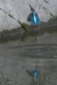 京都新聞写真コンテスト 魚を銜えた翡翠
