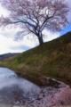 京都新聞写真コンテスト 一本桜花筏