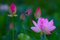 京都新聞写真コンテスト 蓮と蜂