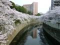桜@神田川