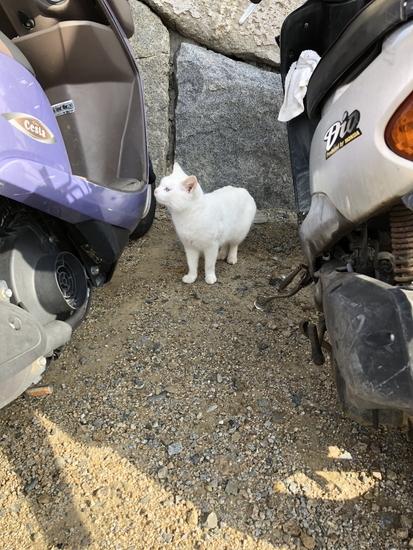 女木島にいた白い猫