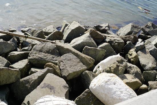 海岸で餌を求める女木島の白い猫