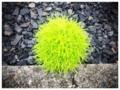 [これは何?][植物]近所で見つけたマリモのような草!これはいったい何??