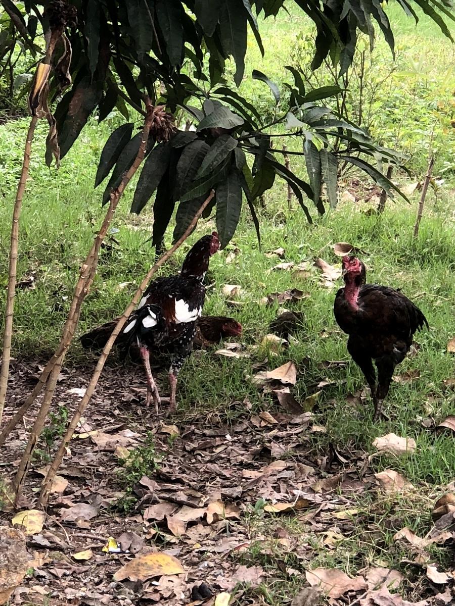 ベトナム 鶏