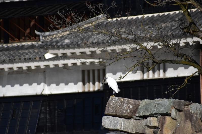 松本城 白鷺 シラサギ