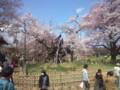 本日の神代桜