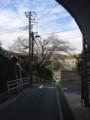 今日の坂本トンネルの桜。一輪だけ咲いてます