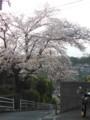 坂本トンネルの桜 #tamayura