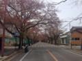 夜ノ森の桜のトンネル(ちょっと遅かった)