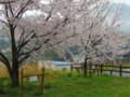 沢渡姉妹桜