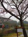 かおたん桜