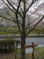 さよみん桜