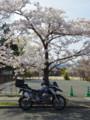 夜ノ森の桜とGSたん