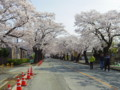 満開の夜ノ森桜並木
