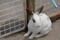 浅間牧場のウサギ(1)