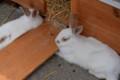 浅間牧場のウサギ(2)