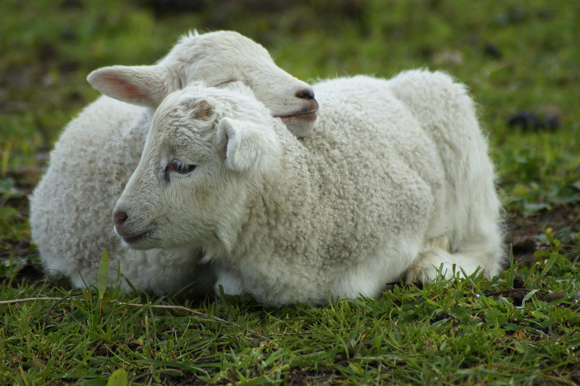 身を寄せ合う小羊