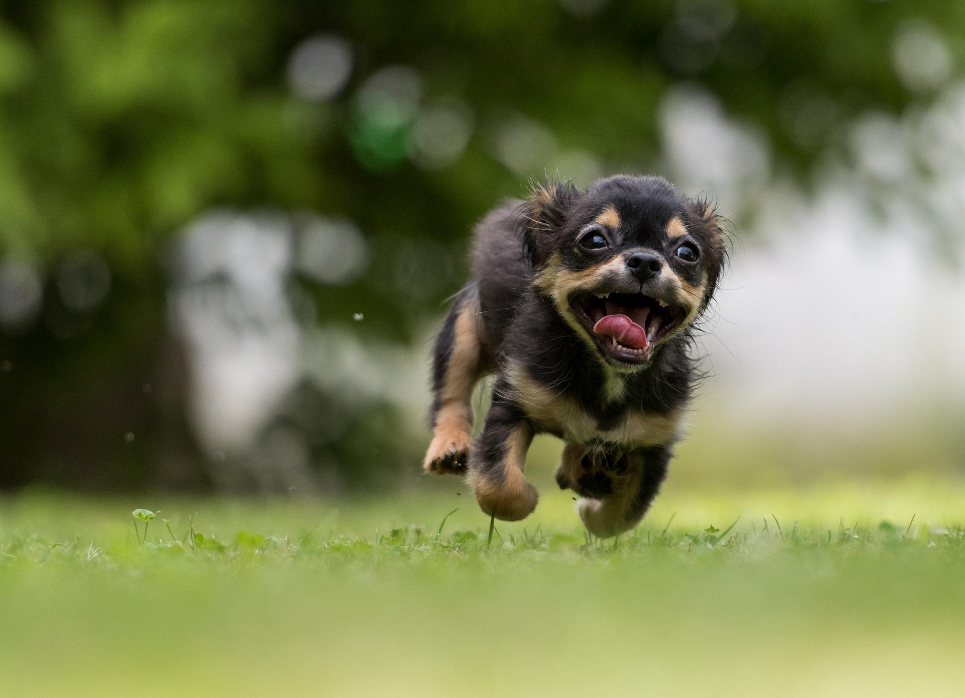 芝生を走るチワワ