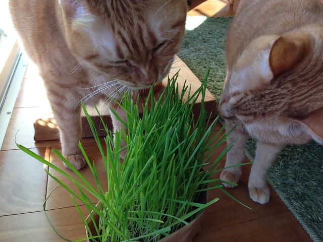 無印良品、猫草栽培セット