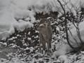 エゾシカ、蝦夷鹿、Hokkaido Sika Deer (Cervus nippon yesoensis)