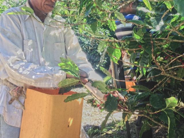 コーヒーの実の収穫