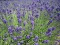 [ハーブ][ラベンダー][花][植物]ラベンダー