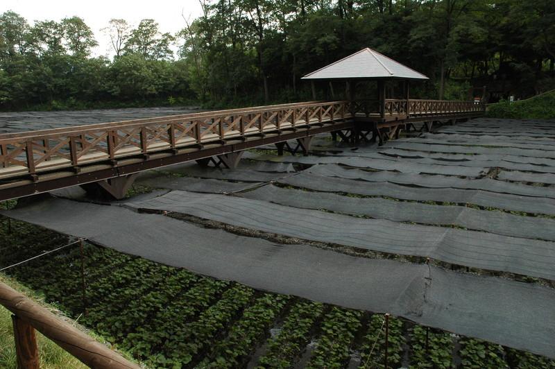 大王わさび農場 わさび田を跨ぐ橋
