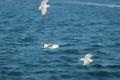 空中でほぼ静止しながら、船の客からの海老せんを待っている図。