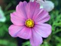 [花]コスモスかな