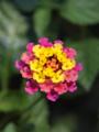 [花]色違いをよく見かける 七変化
