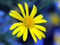[花]ユリオプスデージー