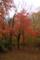 こう潔く紅くなった木は それはそれで珍しいのでは・・
