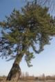 [水元公園]立派な松です