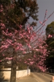 [八重垣神社]梅が満開