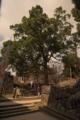 [城]松江城内は巨木がそこかしこに