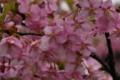 [井の頭公園]桜は接写すると暗い・・・