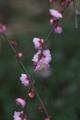 [井の頭公園]枝垂れ梅のアップ